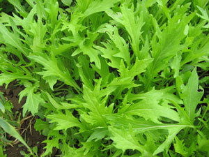 Mizuna Mustard Greens - Bulk Vegetable Seeds - 50 grams