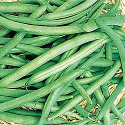 Contender Beans - Bulk Vegetable Seeds