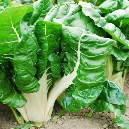 Fordhook Swiss Chard - Bulk Vegetable Seeds - 200 grams
