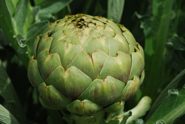 Green Globe Artichoke - Bulk Vegetable Seeds