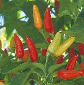 Tabasco Chilli Pepper - Bulk Vegetable Seeds - 10 grams