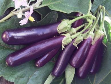 Long Purple Eggplant - Bulk Vegetable Seeds - 100 grams