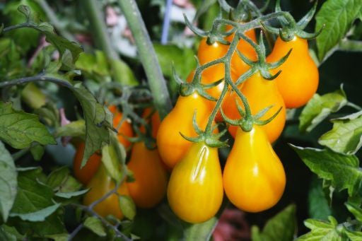 Yellow Pear Tomato - ORGANIC - Bulk Vegetable Seeds - 10 grams