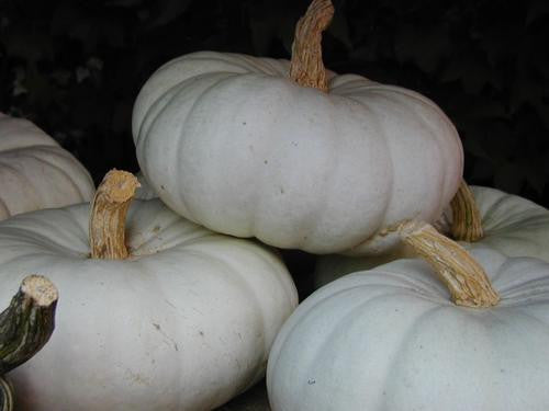 Flat White Boer Pumpkin - Bulk Vegetable Seeds