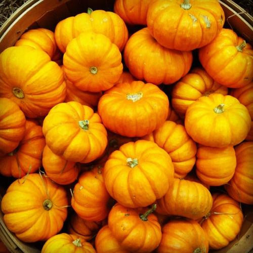 Jack Be Little Pumpkin - Bulk Vegetable Seeds - 10 grams