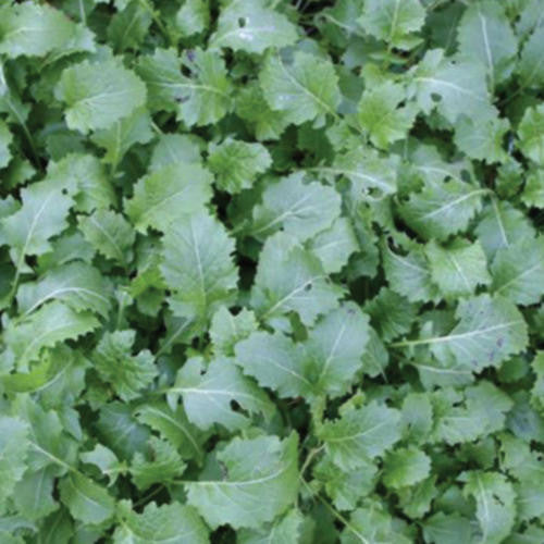 Essex Rape - Bulk Vegetable Seeds - 200 grams