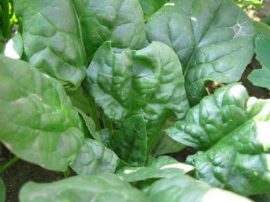 Viroflay Spinach - Bulk Vegetable Seeds - 200 grams