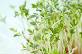 Garden Cress - Bulk Vegetable Seeds - 100 grams