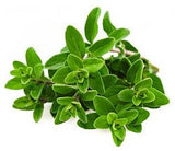 Sweet Marjoram - Bulk Herb Seeds - 10 grams