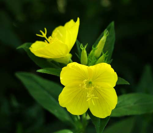 Evening Primrose - Bulk Herb Seeds - 50 grams