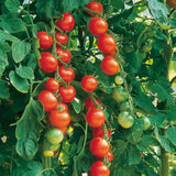 Gardeners Delight Cherry Tomato - Bulk Vegetable Seeds - 200 seeds