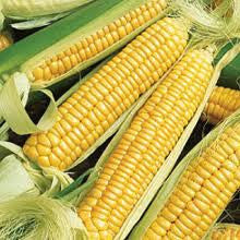 Golden Bantam Sweetcorn - Bulk Vegetable Seeds