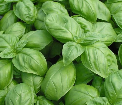 Large Leaf Sweet Basil - Bulk Herb Seeds - 100 grams
