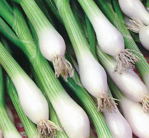 White Lisbon Spring Onion / Bunching Onion - Bulk Herb Seeds - 20 grams