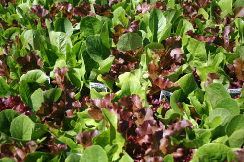 Gourmet Baby Leaf Lettuce Salad Blend - Bulk Vegetable Seeds - 20 grams