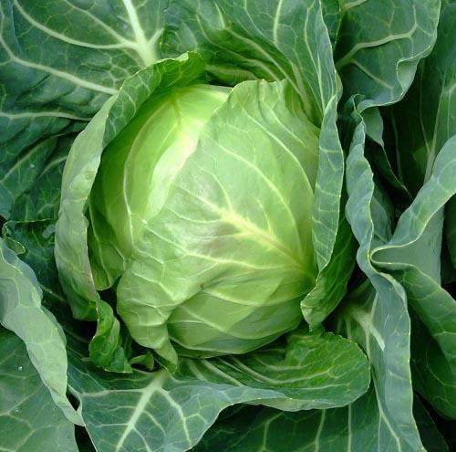 Copenhagen Market Cabbage - Bulk Vegetable Seeds - 200 grams