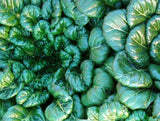 Tatsoi Mustard Greens - Bulk Vegetable Seeds - 100 grams