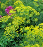 Bouquet Dill - ORGANIC - Herb - 100 Seeds