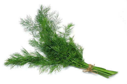 Mammoth Long Island Dill - ORGANIC - Herb - 100 Seeds