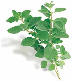 Greek Oregano - ORGANIC - Herb - 100 Seeds