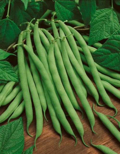 Blue Lake Bush Beans - ORGANIC - Heirloom Vegetable - 10 Seeds