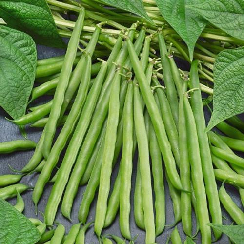 French Garden Beans - ORGANIC - Heirloom Vegetable - 10 Seeds