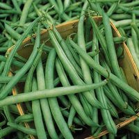 Provider Beans - ORGANIC - Heirloom Vegetable - 10 Seeds