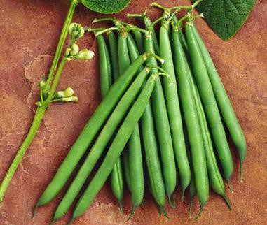 Tenderette Beans - ORGANIC - Heirloom Vegetable - 10 Seeds