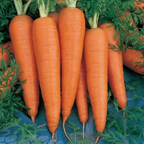 Danvers Carrot - ORGANIC - Heirloom Vegetable - 100 Seeds