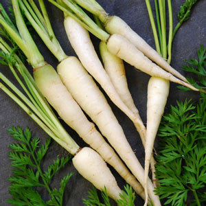Lunar White Carrot - ORGANIC - Heirloom Vegetable - 100 Seeds
