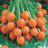 Parisian Carrot - ORGANIC - Heirloom Vegetable - 100 Seeds