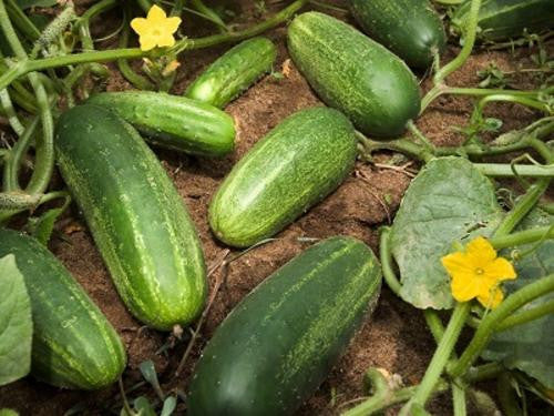 Wisconsin Pickling Cucumber - ORGANIC - Heirloom Vegetable - 10 Seeds