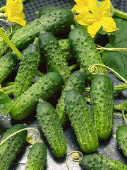 Calypso Pickling Cucumber - ORGANIC - Heirloom Vegetable - 10 Seeds