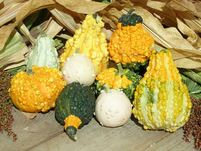 Small Gourds - ORGANIC - Heirloom Vegetable - 5 Seeds