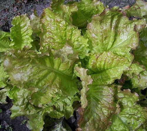 Prizehead Lettuce - ORGANIC - Heirloom Vegetable - 100 Seeds
