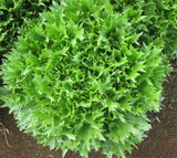 Tango Lettuce - ORGANIC - Heirloom Vegetable - 100 Seeds