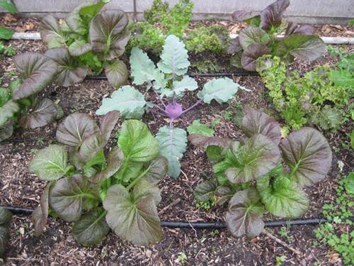 Purplewaves Mustard Greens - ORGANIC - Heirloom Vegetable - 100 Seeds