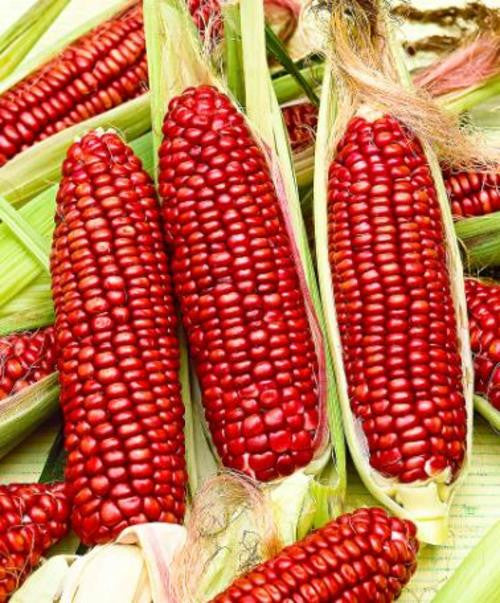 Bloody Butcher Sweetcorn - ORGANIC - Heirloom Vegetable - 10 Seeds