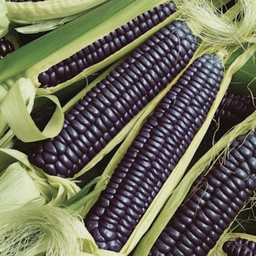 Hopi Blue Sweetcorn - ORGANIC - Heirloom Vegetable - 10 Seeds