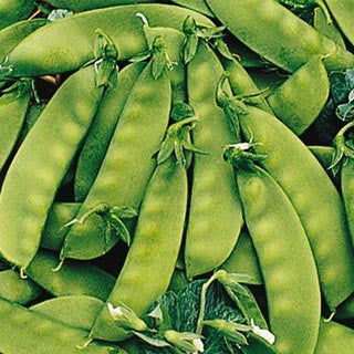 Oregon Sugar Pod - ORGANIC - Heirloom Vegetable - 10 Seeds