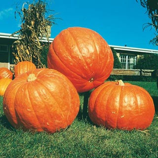 Big Max Pumpkin - ORGANIC - Heirloom Vegetable - 10 Seeds