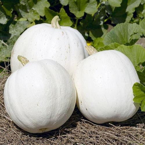 Casper Pumpkin - ORGANIC - Heirloom Vegetable - 5 Seeds