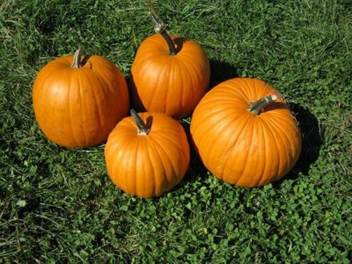 Connecticut Field Pumpkin - ORGANIC - Heirloom Vegetable - 10 Seeds