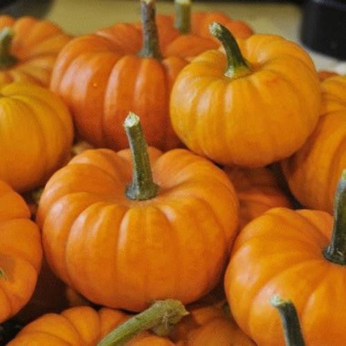 Jack Be Little Pumpkin - ORGANIC - Heirloom Vegetable - 5 Seeds