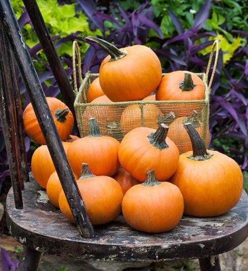 Wee B Little Pumpkin - ORGANIC - Heirloom Vegetable - 5 Seeds