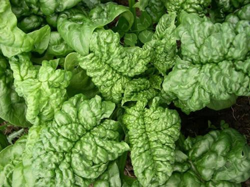 Bloomsdale Spinach - ORGANIC - Heirloom Vegetable - 100 Seeds