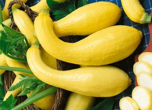 Early Crookneck Squash / Zucchini  - ORGANIC - Heirloom Vegetable - 10 Seeds