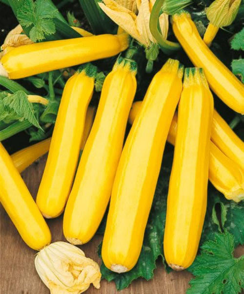 Golden Zucchini - ORGANIC - Heirloom Vegetable - 5 Seeds