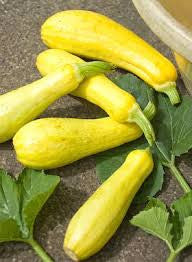 Prolific Straightneck Squash / Zucchini  - ORGANIC - Heirloom Vegetable - 10 Seeds