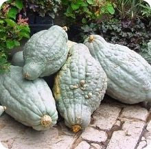 Blue Hubbard Squash - ORGANIC - Heirloom Vegetable - 5 Seeds